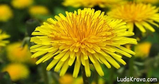 maslackov cvijet