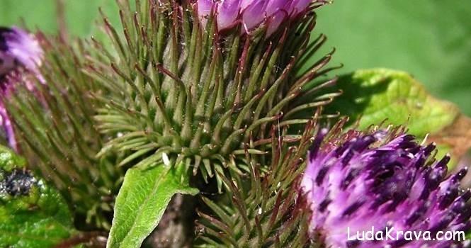 cicak cvijet