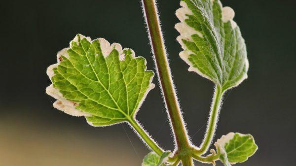 Ljekovita biljka tamjan
