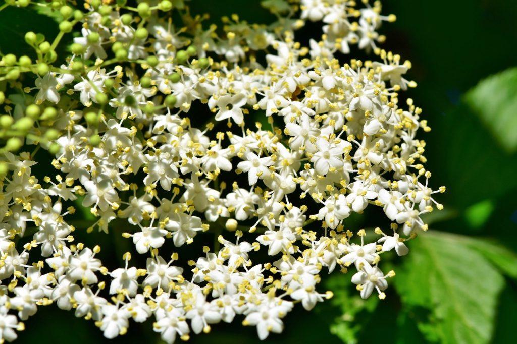 Cvijet bazge - Koliko je ljekovita bazga