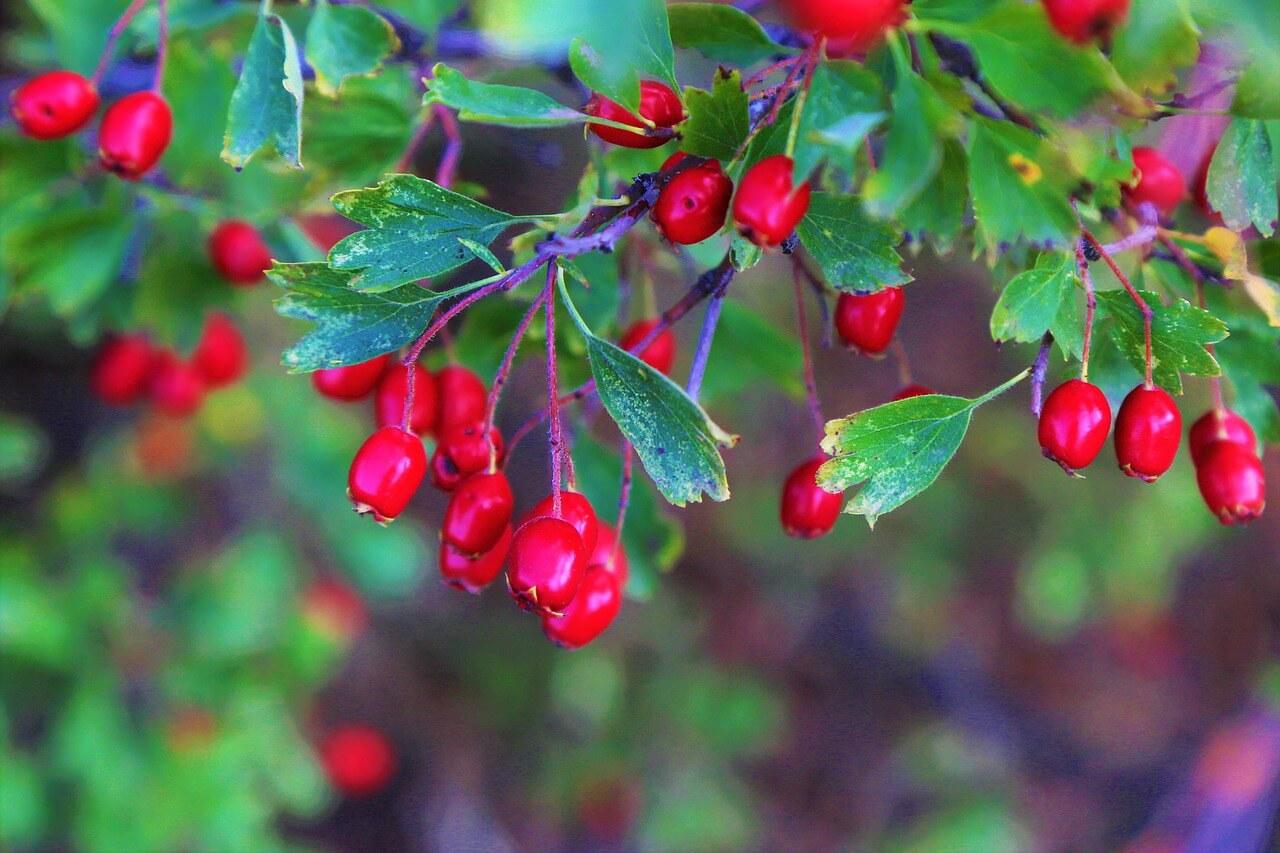 Brusnica Plodovi Zdravlje Zdravo Voće